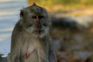 Baluran – małpy i bantengi