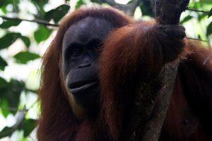 Bukit Lawang – ostoja orangutanów