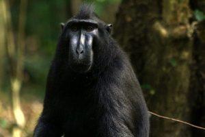 Park Narodowy Tangkoko – raj endemitów