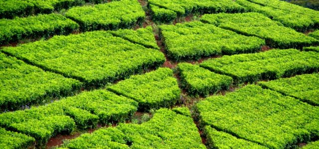 Mulanje – pośród herbacianych pól