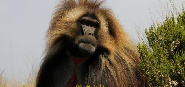 Płaskowyż Guassa – w świecie małp o krwawiącym sercu