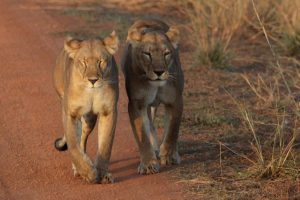 Pendjari NP – czas lwów