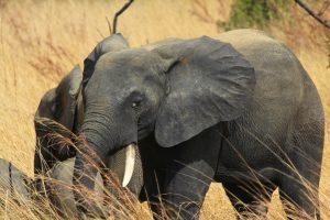 Pendjari NP – czas słoni