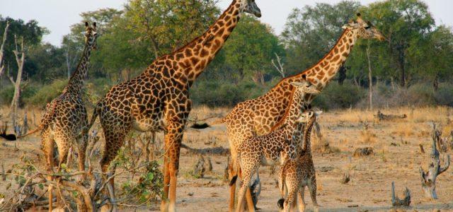 South Luangwa NP. Safari popołudniowe